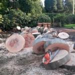 Diseased beech tree removal