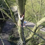Cable bracing a cherry tree.