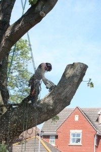 Diseased horse chestnut - sectional dismantle (Small)