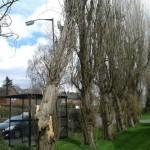 Fallen poplar next to bus shelter