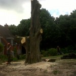 Removal of large diseased horse chestnut tree