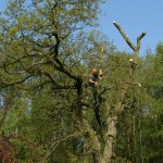 Oak - sectional felling