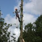 Poplar tree removal