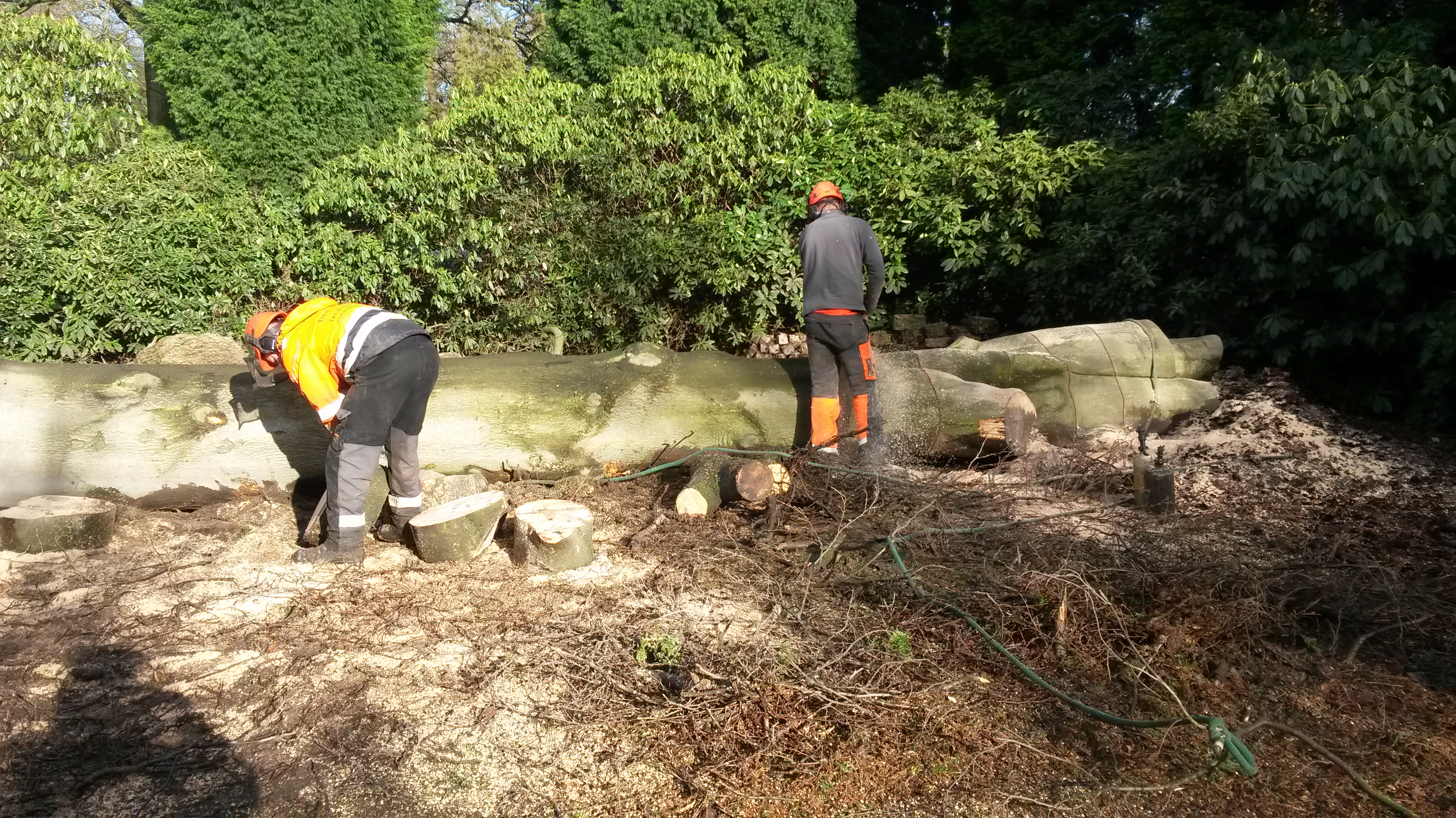 Diseased beech tree removal