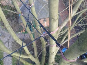 Cherry tree - cable bracing