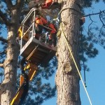 Large pine tree removal
