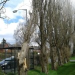 Fallen poplar next to bus shelter