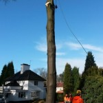 Large diseased beech tree removal - during 6 (Small)