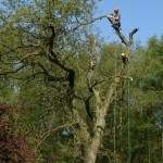 Large oak tree removal