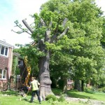 Reduction: Oak tree that was in severe decline.