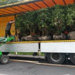 Rhododendrons arrive from Holland - all 26, neatly transported.