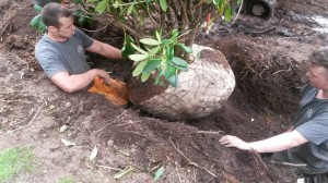 Planting Rhododendrons
