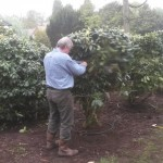 Planting rhododendrons : the client unties the first one!